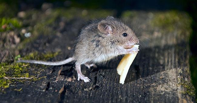 Il pericolo dei topi nelle abitazioni